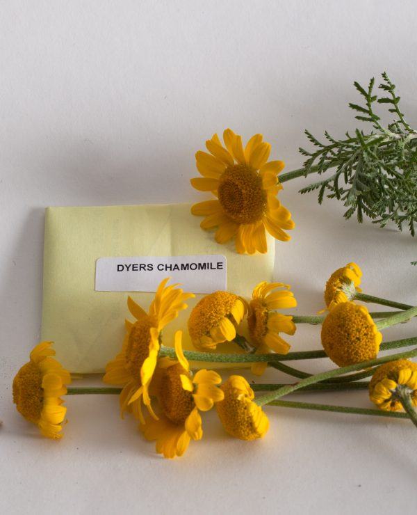 Dyer's chamomile seeds.-0